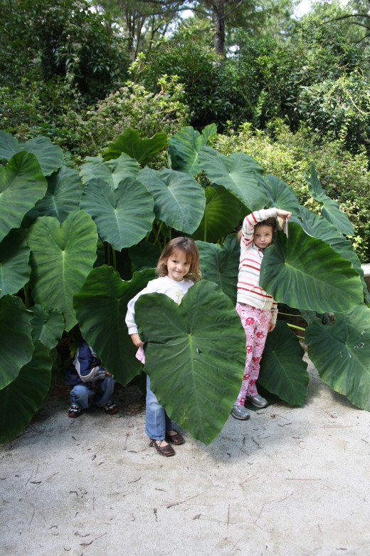 Elephant Ears!!!!!  They are huge!