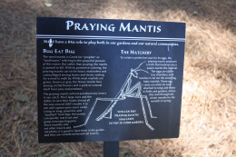 All about the praying mantis
