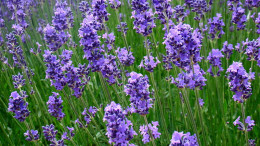 Lavender and other essential oils can help to reduce foot pain.
