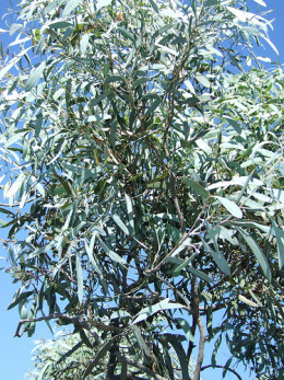 Eucalyptus oil comes from the Eucalyptus tree native to Australia.