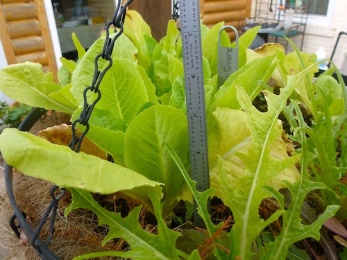 Thin lettuce seedlings, then remove outer leaves of remaining plants.