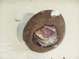 Juvenile crab must hide it's fragile body from predators in a shell... seashell, coconut shell, it's all good.