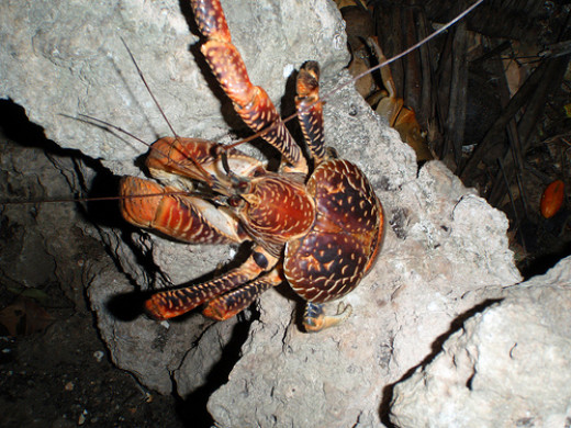 The crabs claws are very strong and can easily pull it's body up the length of a tree.