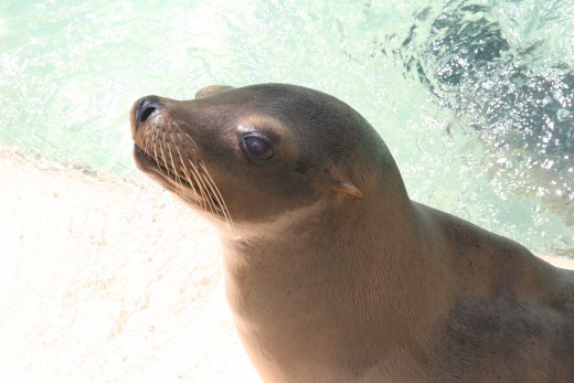 A sea lion at Sea World, San Diego
