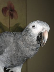 African Grey Parrots seem to like to converse with people.