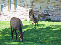 Elk grazing near Mammoth Hot Springs (Just off of the road)