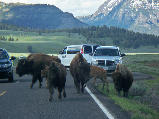 Bison taking the road