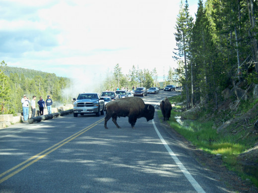 Bison literally cross the road wherever they please in Yellowstone