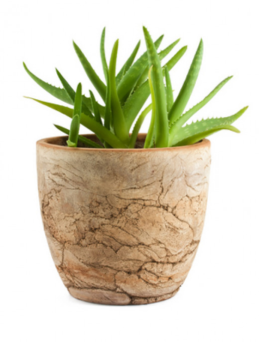 Aloe Vera can be displayed on its own or in combination with other similar type plants.