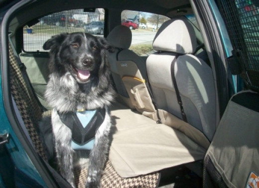 My dog Pierson in the car wearing his Bergan dog seat belt. My car is also outfitted with the Kurgo Backseat Bridge to cover the floor and give my dogs more room to stretch out on long road trips.