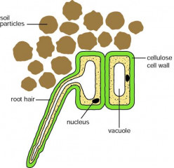 Biology - Plant Cells and Water