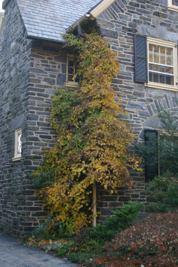 Hydrangea Petiolaris, the climbing hydrangea