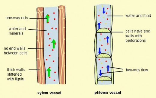 the Xylem (left) and the Phloem (right).