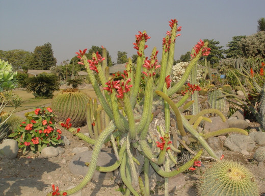 Cactus Garden situated in sector 5 panchkula is known for its rare & endangered species of Indian succulents. You can spot nearly 3500 different kinds of species over there.