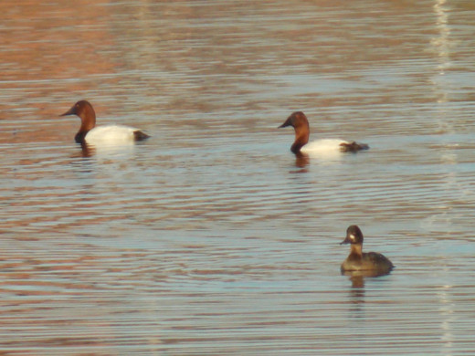 Canvasbacks(top)