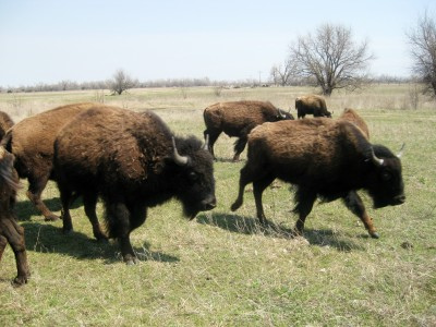 Chow time at the Indian Creek Bison Ranch in Haven, Kansas