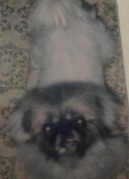 MaiLin; Pure-bred Pekinese; rescued from Puppy Mill, 1992, 1988-2002