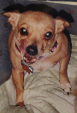 Penny; Pure-breed Chihuahua, Adopted from animal shelter in Pensacola, Fl.  Was considered un-adoptable, my mother took her anyway, she became a wonderful companion after some time and effort.