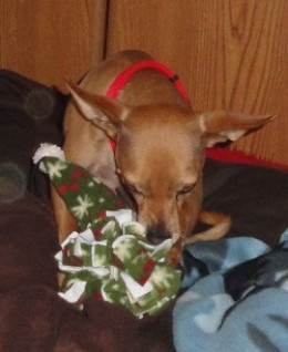 Toby- Red Miniature Pincher, possibly mix with Chihuahua.   Adopted in 2010, 4 yrs old.  Had severe heartworm infection and has dog-aggression problems.  Healed and trained.