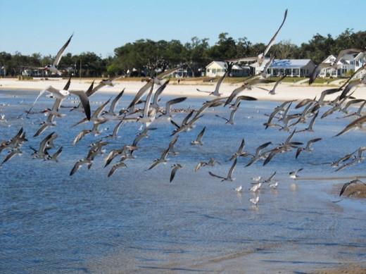 Shore Birds in Flight, Mississippi Gulf Shores