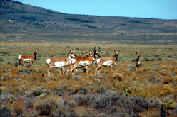 Alluring Antelopes and their Allies