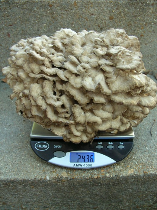 "Found in autumn at the base of an oak tree, where they are usually found, this specimen called ""Hen of the Woods"" weighed 24+ ounces. Edible."