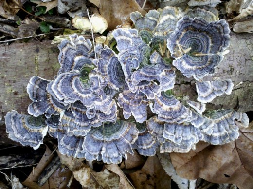 This specimen, found near a creek, is fresh. Turkey Tail that has dried out is white and will endure for years. Not edible.