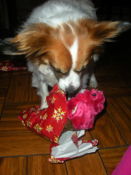 Kitsune opening one of his Christmas presents - Christmas 2011