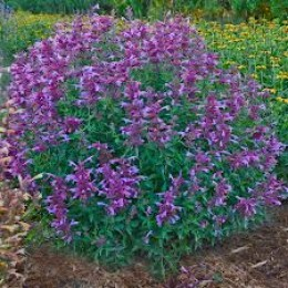 Mature hyssop herb plant