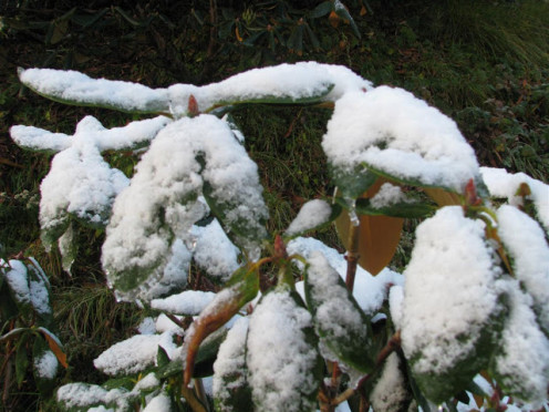 Fresh Snow on the Leaves
