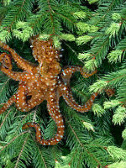 What will YOU do to save the endangered Pacific North West Tree Octopus?