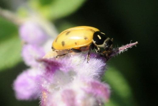 Ladybugs are beneficial to man because they feed on pests that destroy plants.