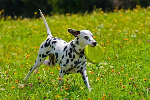 The Dalmation makes an excellent companion for those with an active lifestyle.
