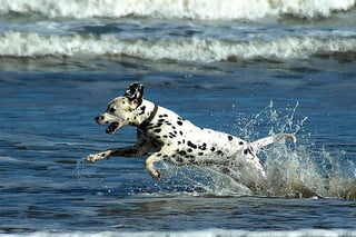 Built for speed and stamina, the Dalmatian is a sporty breed.