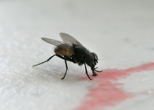The Common Housefly Drinking a Spilled Substance