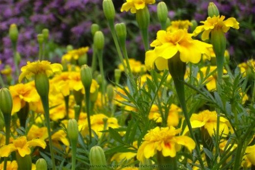 Summer Splash marigold. Beautiful blue-green foliage coninously covered with bright yellow single blooms.
