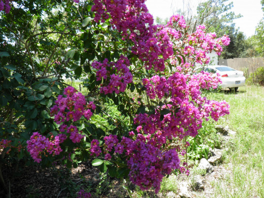 Crepe Myrtles in bloom
