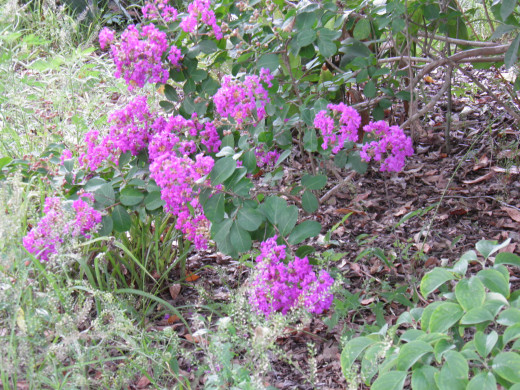 Lavender Crepe myrtles in bloom