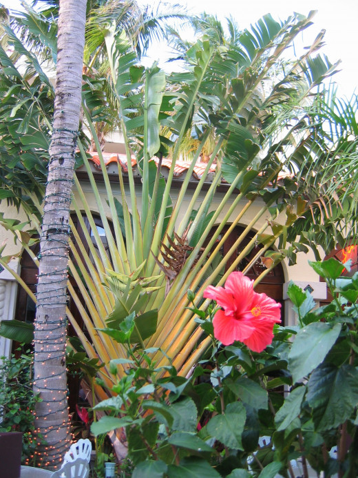 Banana Plant next to Palm Tree, and Red Hibiscus