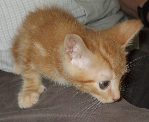 "This little rescue kitten is growing into his long name: ""Cincinnatus!"""