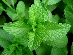 Amazing Mint Uses and Benefits