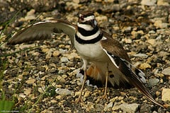 killdeer pretending to have a broken wing--they are famous for this trick as are many other birds!
