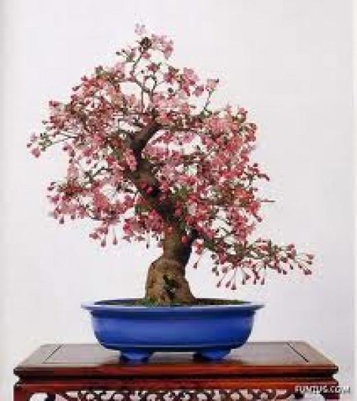 Beautifully shaped Japanese Quince bonsai tree