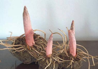 Amorphophallus root