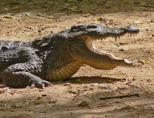 What Do Crocs Have to Say in Dreams?