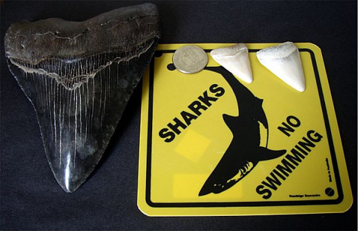 Megalodon tooth vs The Great White Shark teeth