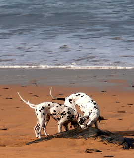 The gorgeous spotted Dalmatian is a one of a kind fashion accessory.