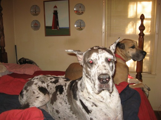 our Great Danes