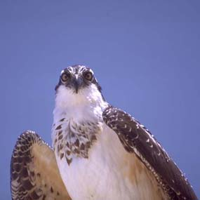 An osprey at English Camp.