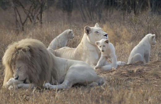 A family of Star Lions from Rising Star.